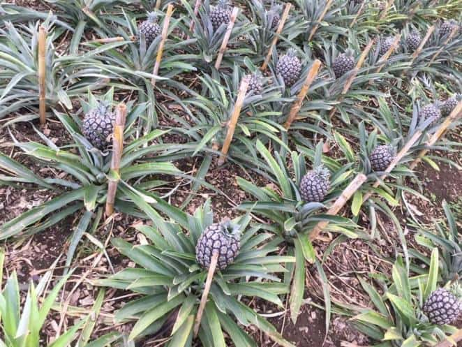 pineapple, azores, what to do, what to see, hotel, food, restaurant, hiking, travel, flight, portugal, capital, how, whale, trekking