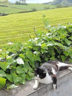 gorreana tea plantation azores, ao miguel