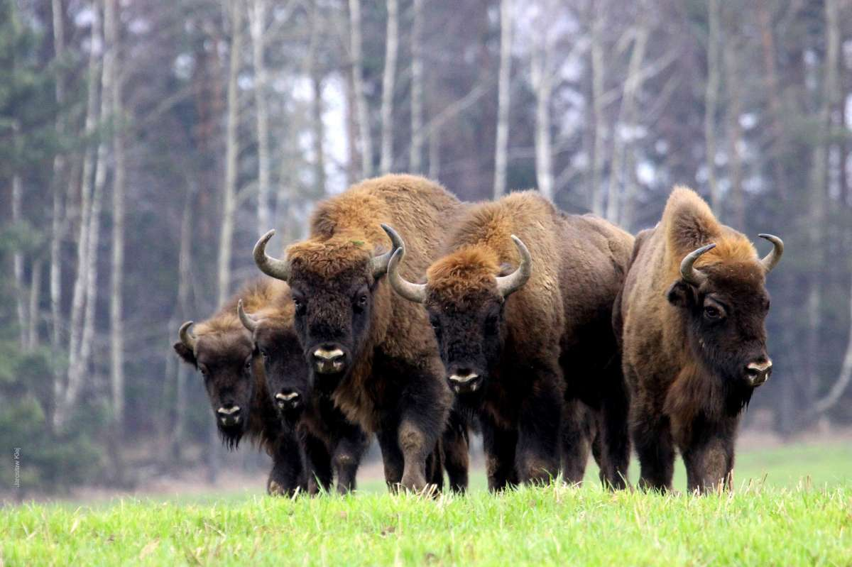 things to buy in bialowieza, typical souvenirs from bialowieza, bison tracking