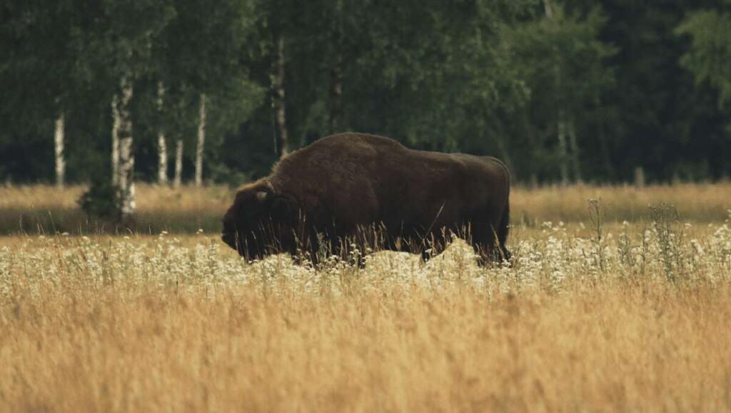 bison in bialowieza forest poland