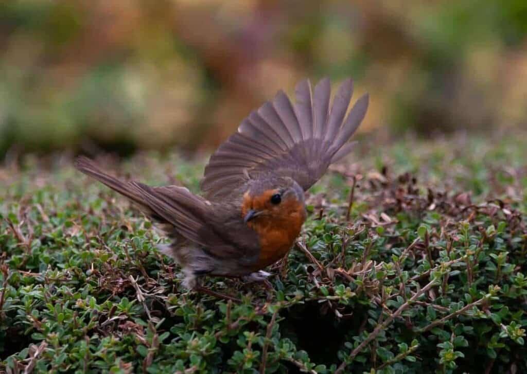 robin redbreast in bialowieza, birding in bialowieza forest