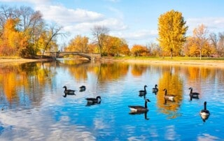 Autumn landscape with a group of canadian geese on a pond. Cloudy blue sky, yellow colored fall trees and a bridge reflect in a water in the Tenney city park. Madison, Wisconsin, Midwest USA. Wisconsin wild nature background.