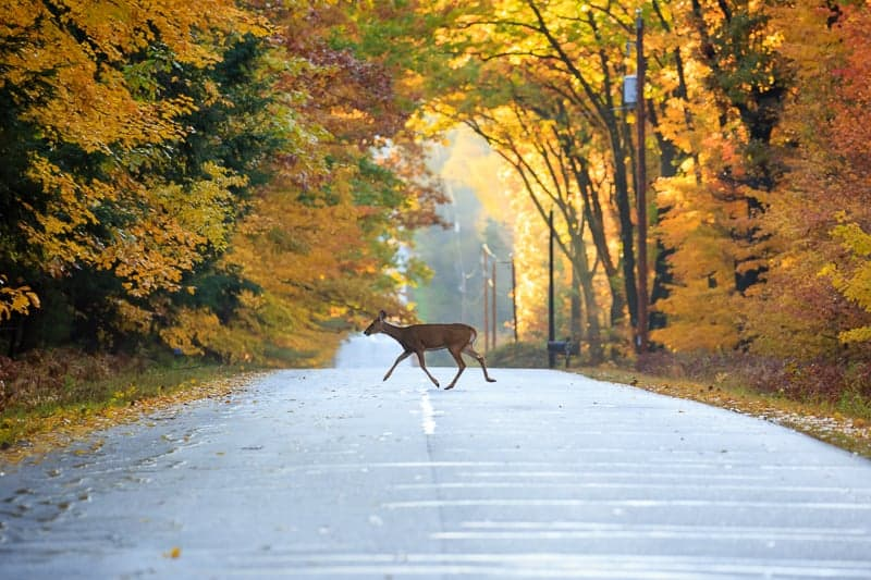 best hiking spots in wisconsin, White-tailed deer crossing a road in Wausau, Wisconsin