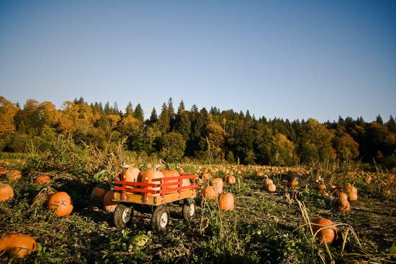 Best fall activities in Wisconsin, A shot of a wheeled wagon carrying pumpkins during harvest time