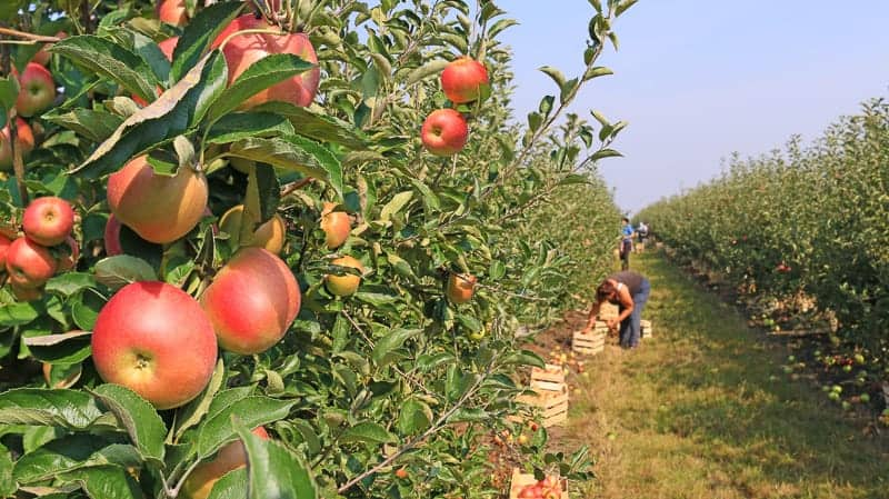 Things to do in Wisconsin in the fall, Apple picking in orchard