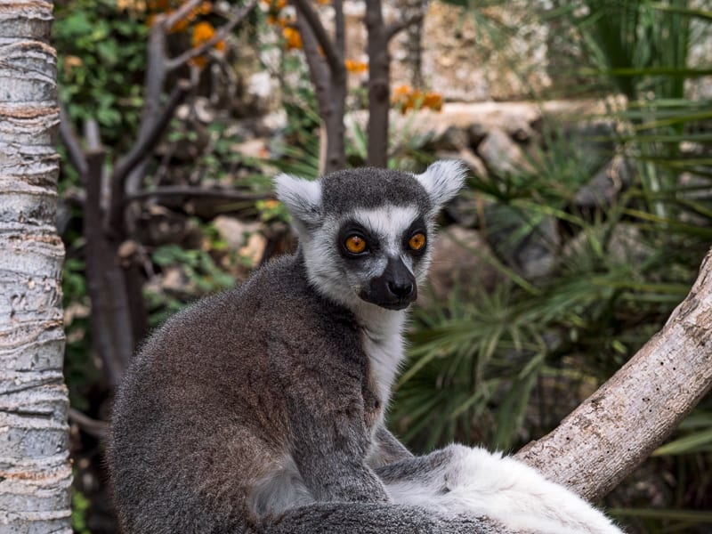 Ring-tailed lemur on the tree at Monkey park, Tenerife, Canary island