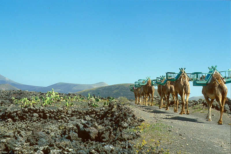 Tenerife, Canary Islands, Spain, 1985. Camel caravans on the volcanic island of Tenerife.