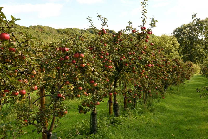 Top things to Do in Door County, WI, orchard of cider apple trees