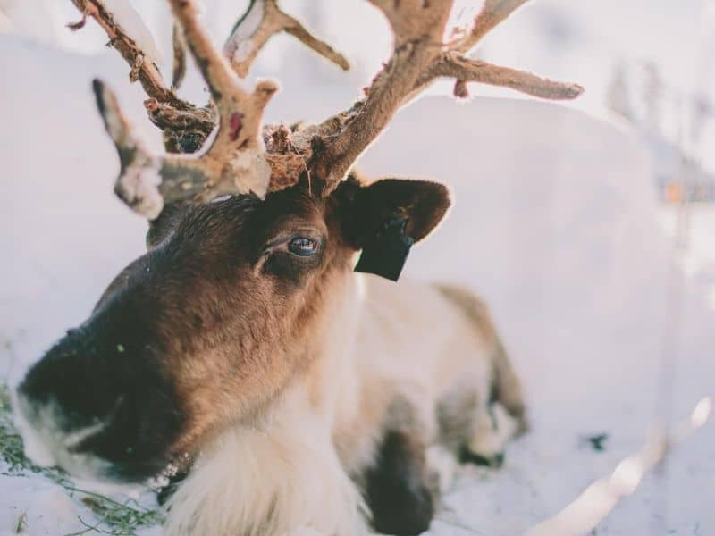 reindeer winter, things to do in wisconsin during christmas