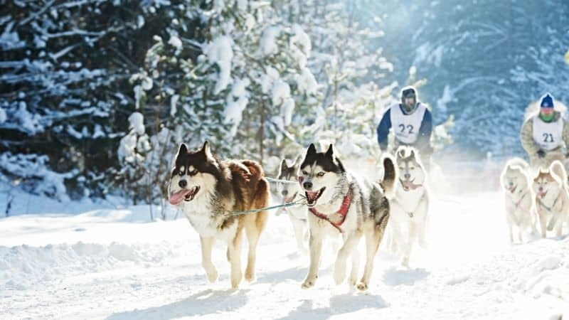 Wisconsin winter activities sled dog racing in ice field
