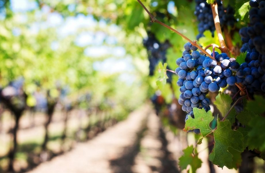 best wineries in door county, wisconsin, grapes on the vine at a winery