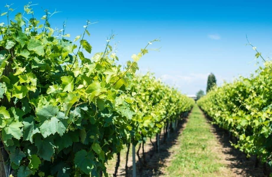 best wineries door county, rows of vineyard trees in the sun