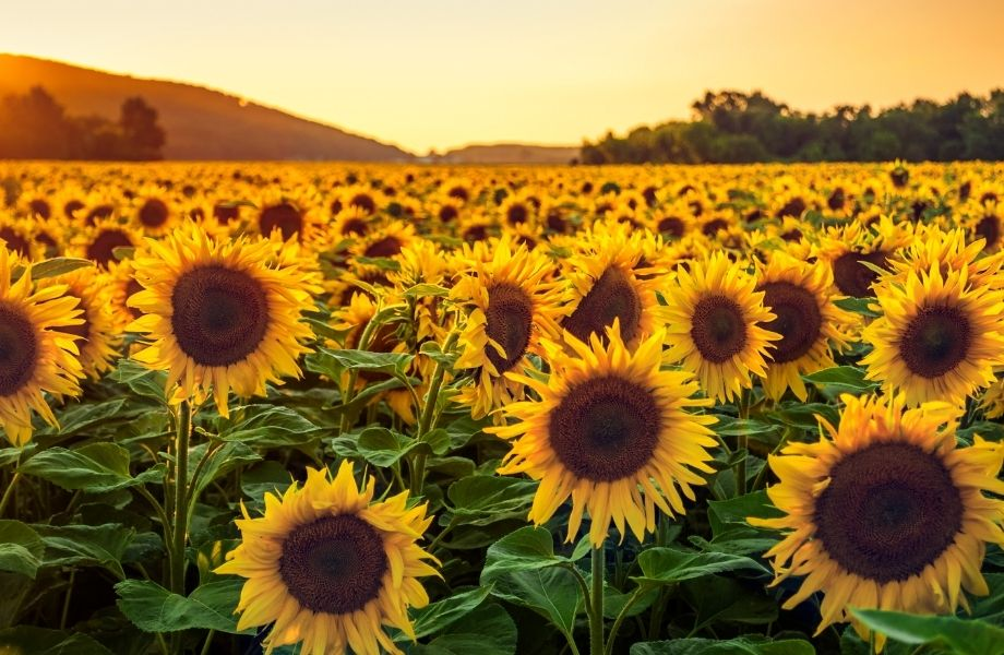 Beautiful outdoor attractions in Wisconsin, sunflower field that stretches for miles