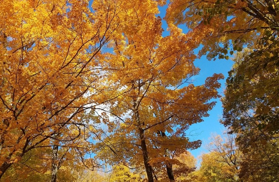 Fall foliage in Wisconsin, yellow trees against blue sky