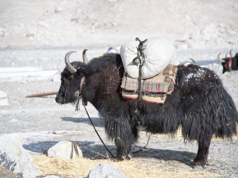Yaks at the Everest Base Camp